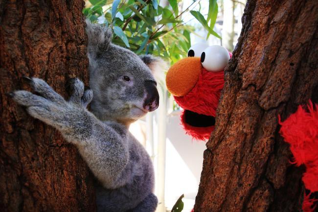 elmo koala